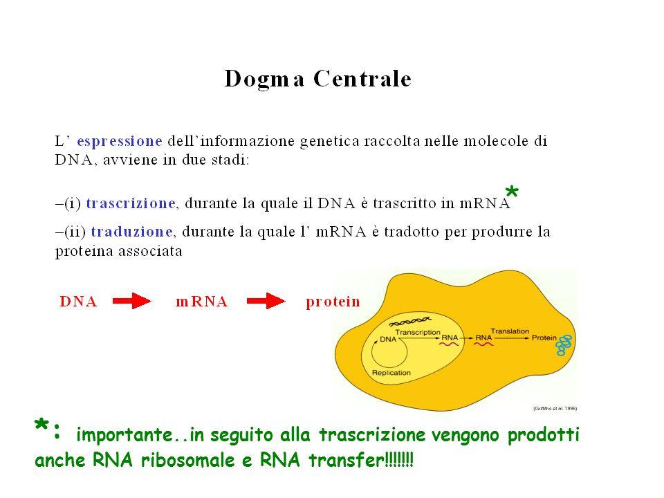 * *: importante..in seguito alla trascrizione vengono prodotti anche RNA ribosomale e RNA transfer!!!!!!!