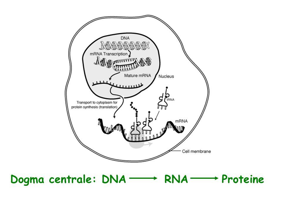 Dogma centrale: DNA RNA Proteine