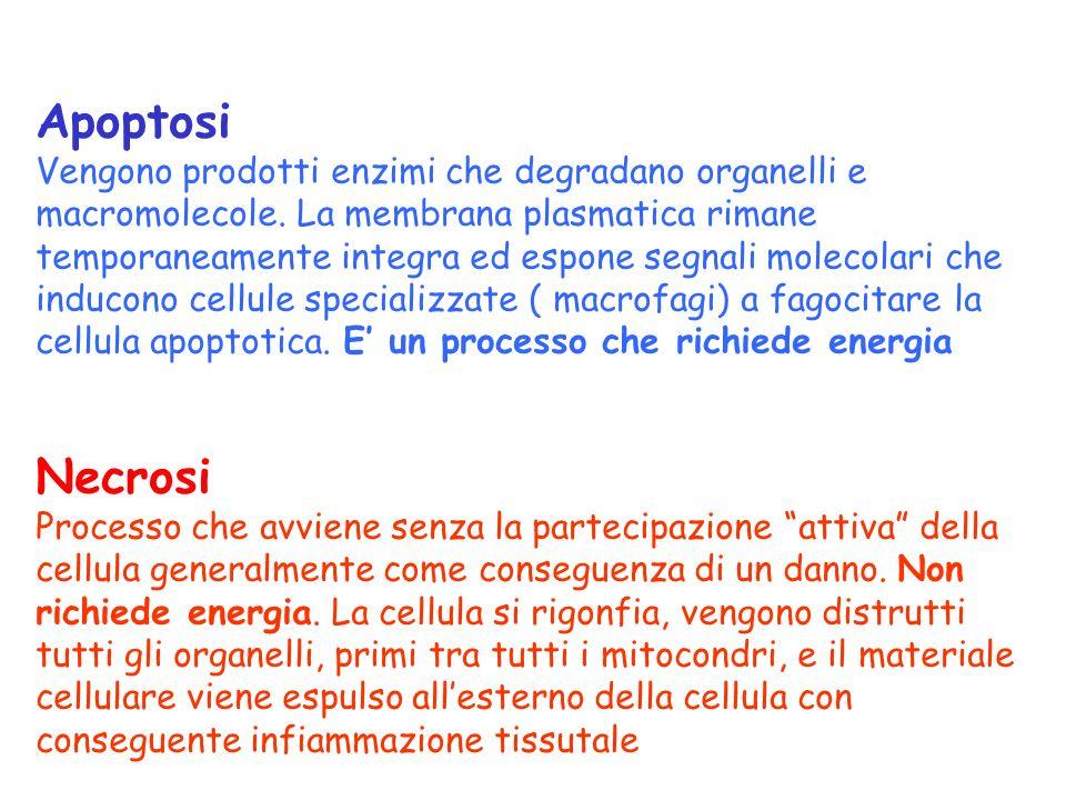 Apoptosi Vengono prodotti enzimi che degradano organelli e macromolecole.