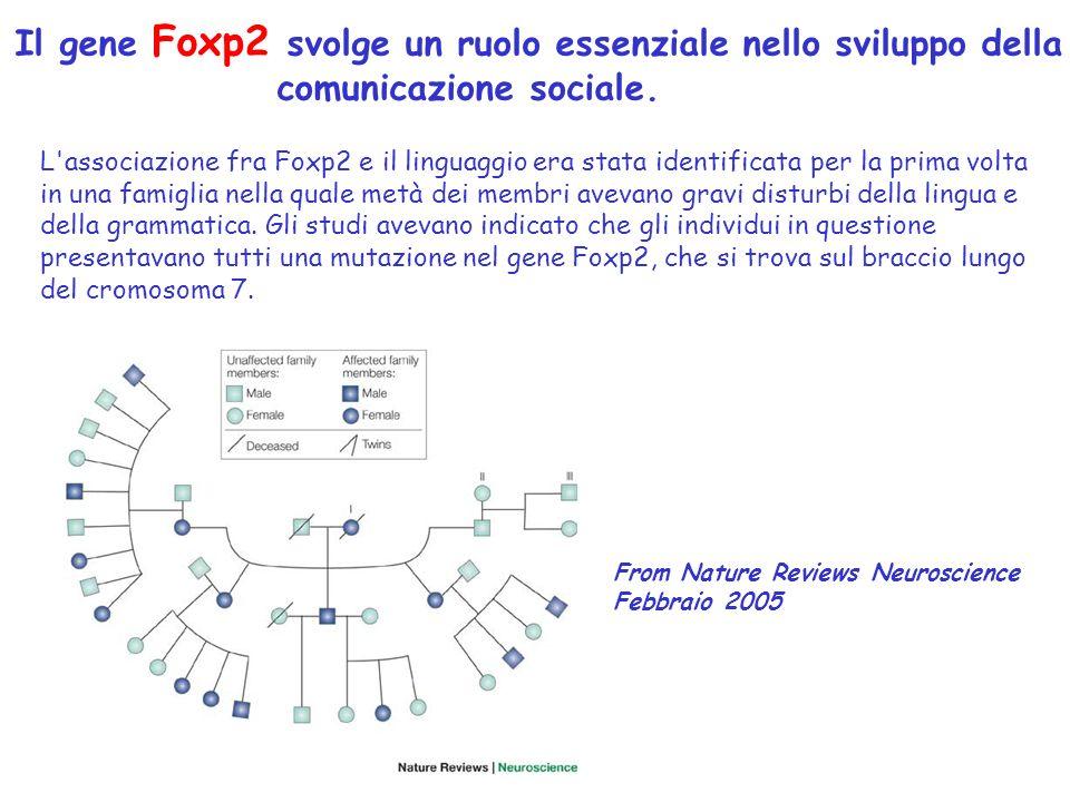 Il gene Foxp2 svolge un ruolo essenziale nello sviluppo della comunicazione sociale.