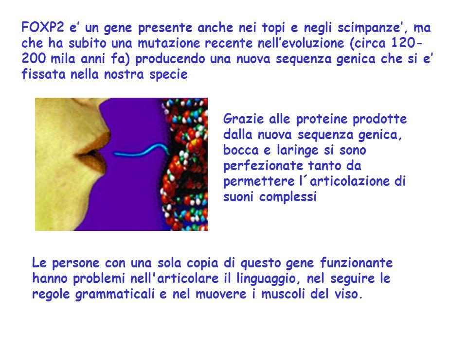 Le persone con una sola copia di questo gene funzionante hanno problemi nell articolare il linguaggio, nel seguire le regole grammaticali e nel muovere i muscoli del viso.