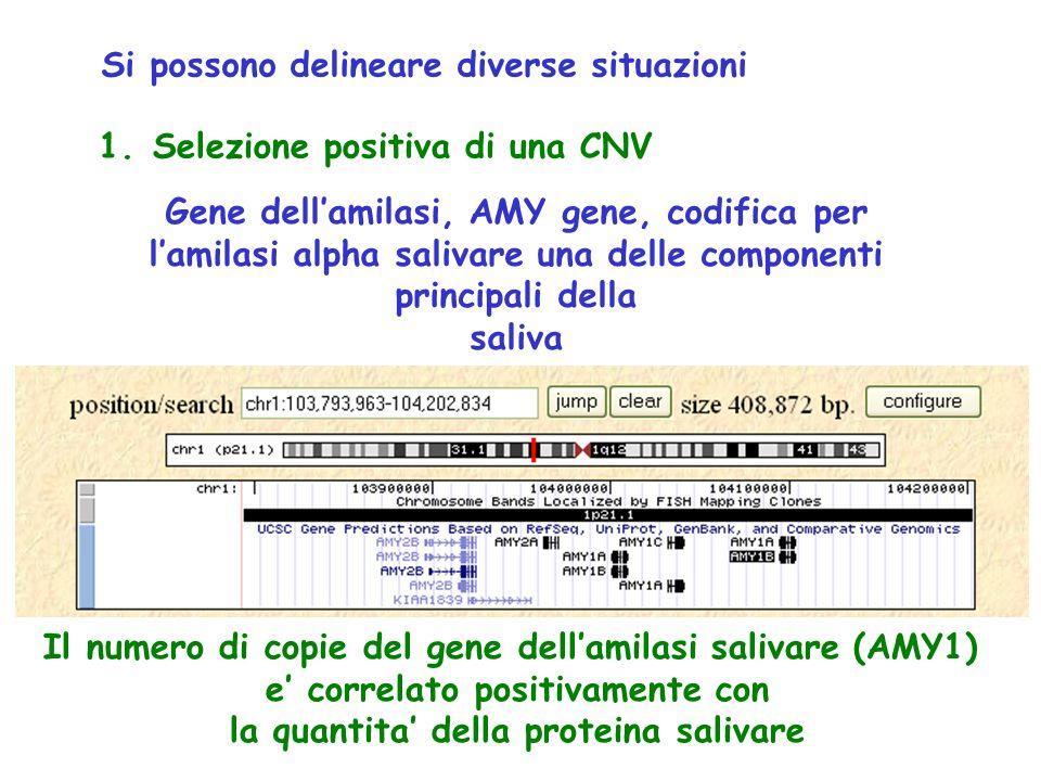 1. Selezione positiva di una CNV Gene dell'amilasi, AMY gene, codifica per l'amilasi alpha salivare una delle componenti principali della saliva Il nu