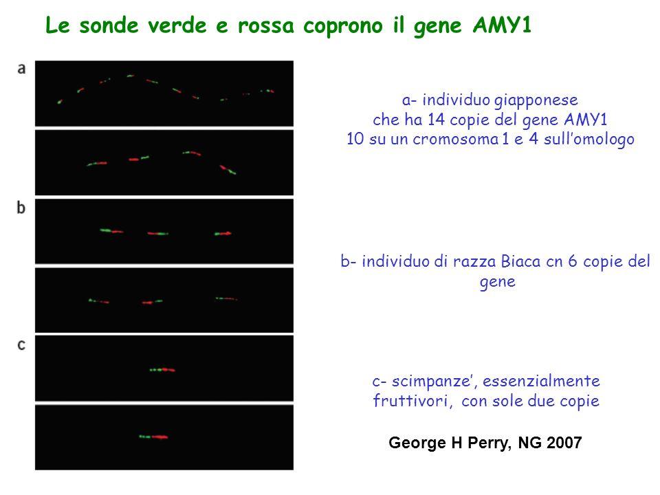 a- individuo giapponese che ha 14 copie del gene AMY1 10 su un cromosoma 1 e 4 sull'omologo Le sonde verde e rossa coprono il gene AMY1 b- individuo di razza Biaca cn 6 copie del gene c- scimpanze', essenzialmente fruttivori, con sole due copie George H Perry, NG 2007