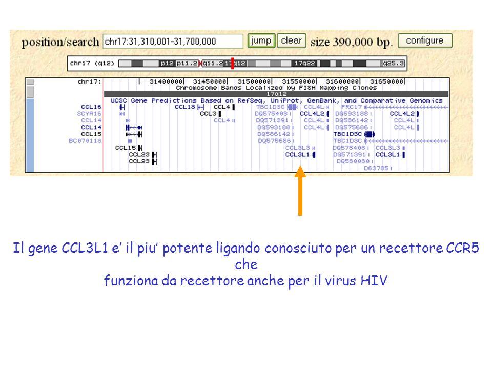 Il gene CCL3L1 e' il piu' potente ligando conosciuto per un recettore CCR5 che funziona da recettore anche per il virus HIV
