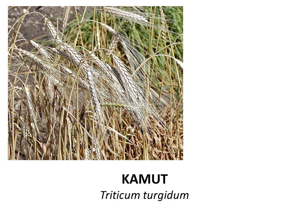KAMUT Triticum turgidum