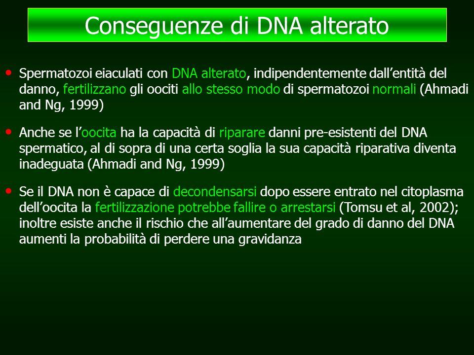 Spermatozoi eiaculati con DNA alterato, indipendentemente dall'entità del danno, fertilizzano gli oociti allo stesso modo di spermatozoi normali (Ahmadi and Ng, 1999) Anche se l'oocita ha la capacità di riparare danni pre-esistenti del DNA spermatico, al di sopra di una certa soglia la sua capacità riparativa diventa inadeguata (Ahmadi and Ng, 1999) Se il DNA non è capace di decondensarsi dopo essere entrato nel citoplasma dell'oocita la fertilizzazione potrebbe fallire o arrestarsi (Tomsu et al, 2002); inoltre esiste anche il rischio che all'aumentare del grado di danno del DNA aumenti la probabilità di perdere una gravidanza Conseguenze di DNA alterato
