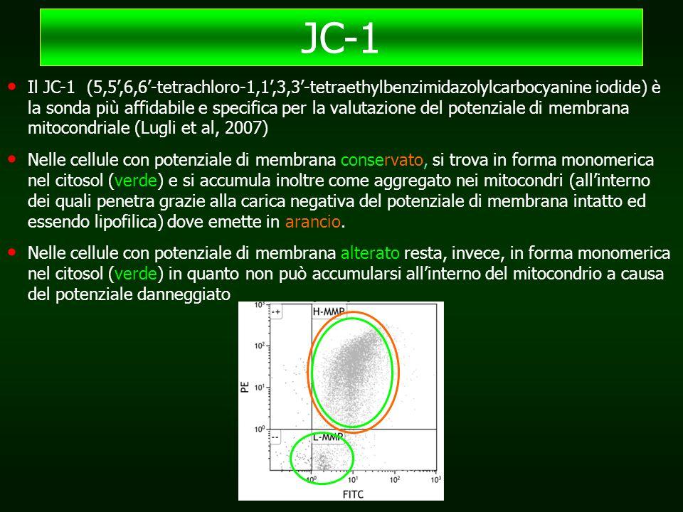 Il JC-1 (5,5',6,6'-tetrachloro-1,1',3,3'-tetraethylbenzimidazolylcarbocyanine iodide) è la sonda più affidabile e specifica per la valutazione del potenziale di membrana mitocondriale (Lugli et al, 2007) Nelle cellule con potenziale di membrana conservato, si trova in forma monomerica nel citosol (verde) e si accumula inoltre come aggregato nei mitocondri (all'interno dei quali penetra grazie alla carica negativa del potenziale di membrana intatto ed essendo lipofilica) dove emette in arancio.
