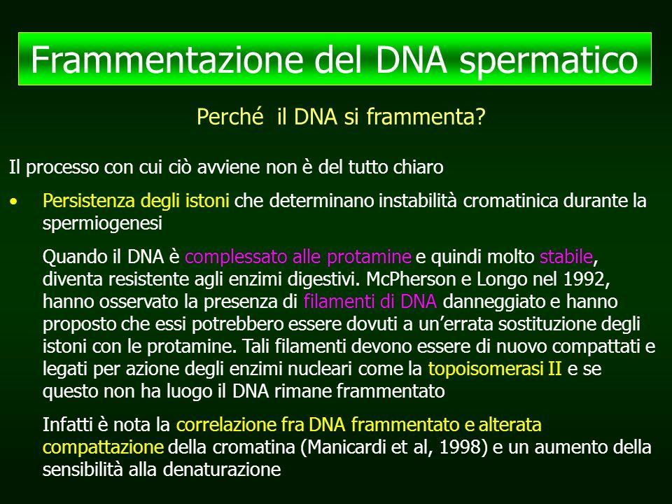 Frammentazione del DNA spermatico Il processo con cui ciò avviene non è del tutto chiaro Persistenza degli istoni che determinano instabilità cromatinica durante la spermiogenesi Quando il DNA è complessato alle protamine e quindi molto stabile, diventa resistente agli enzimi digestivi.