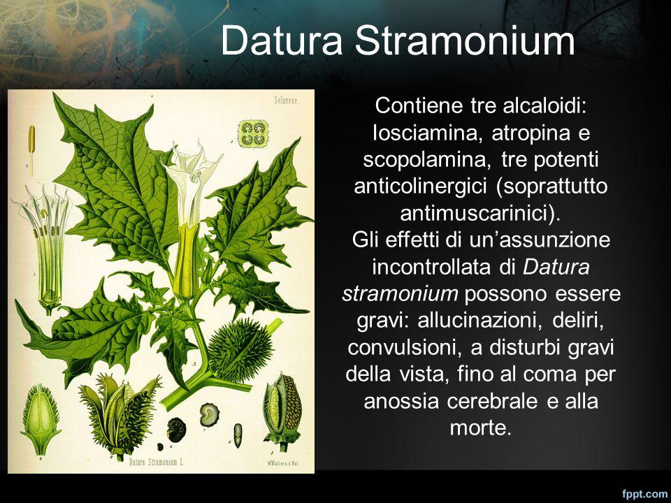 Datura Stramonium Contiene tre alcaloidi: Iosciamina, atropina e scopolamina, tre potenti anticolinergici (soprattutto antimuscarinici). Gli effetti d