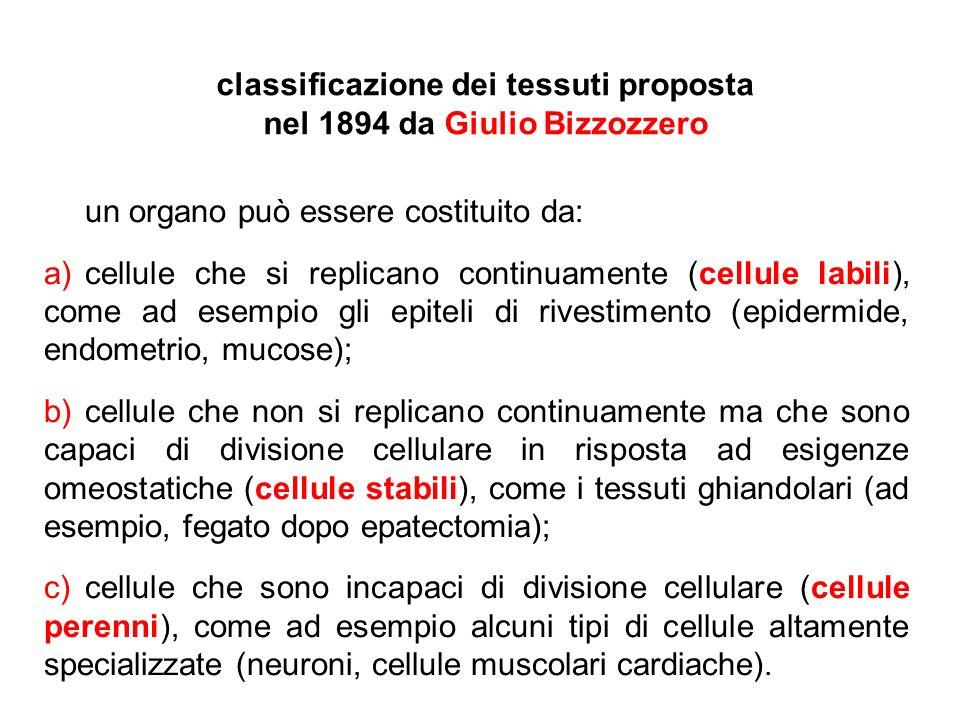 classificazione dei tessuti proposta nel 1894 da Giulio Bizzozzero un organo può essere costituito da: a)cellule che si replicano continuamente (cellu