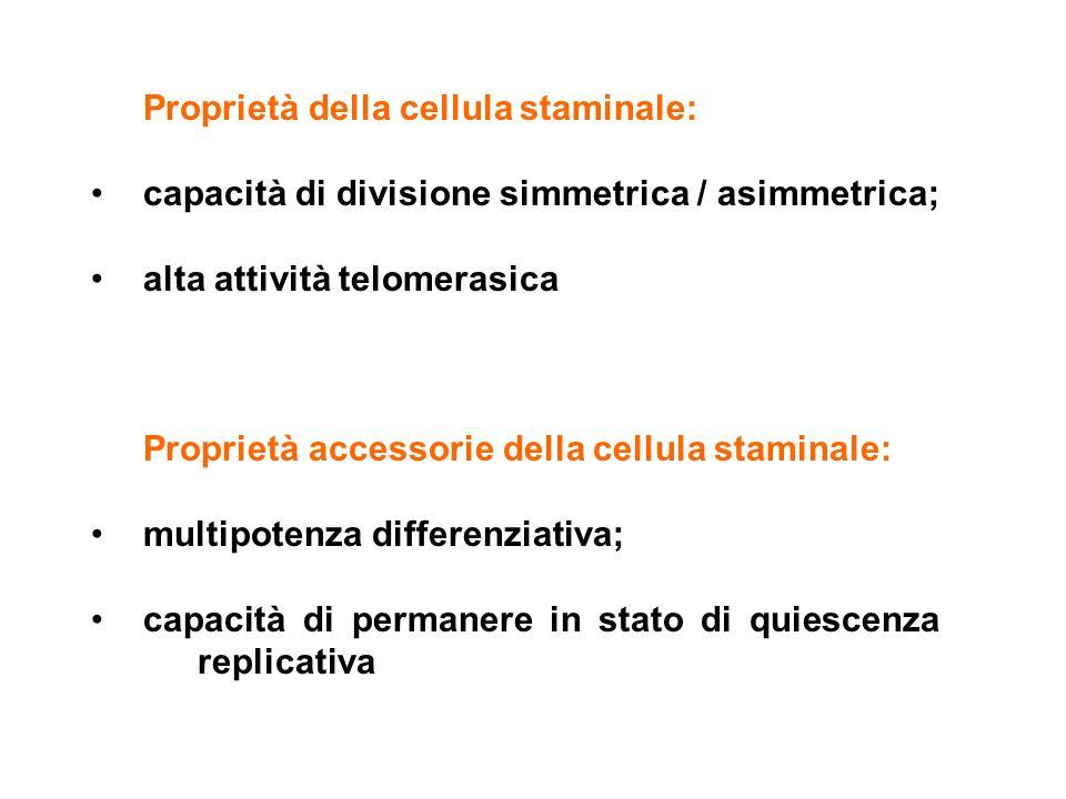 Proprietà della cellula staminale: capacità di divisione simmetrica / asimmetrica; alta attività telomerasica Proprietà accessorie della cellula stami