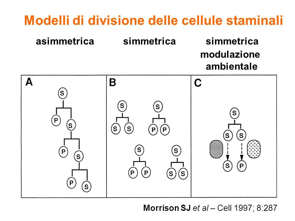 Morrison SJ et al – Cell 1997; 8:287 Modelli di divisione delle cellule staminali asimmetrica simmetrica simmetrica modulazione ambientale