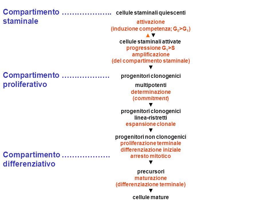 Compartimento ……………….. cellule staminali quiescenti staminale attivazione (induzione competenza; G 0 >G 1 ) ▲▼ cellule staminali attivate progressione
