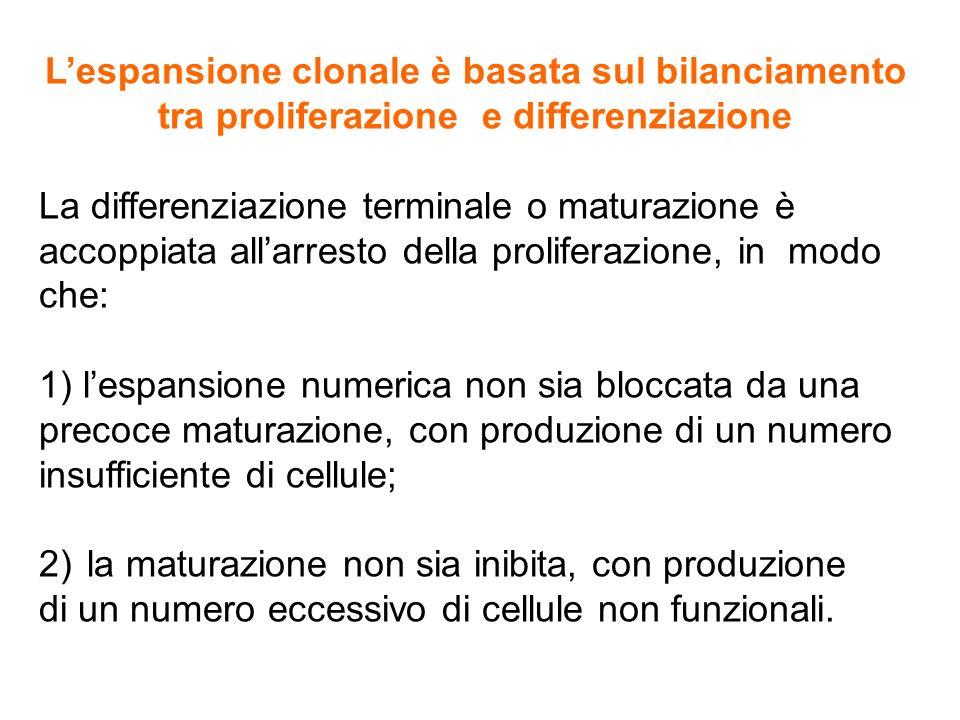 L'espansione clonale è basata sul bilanciamento tra proliferazione e differenziazione La differenziazione terminale o maturazione è accoppiata all'arr