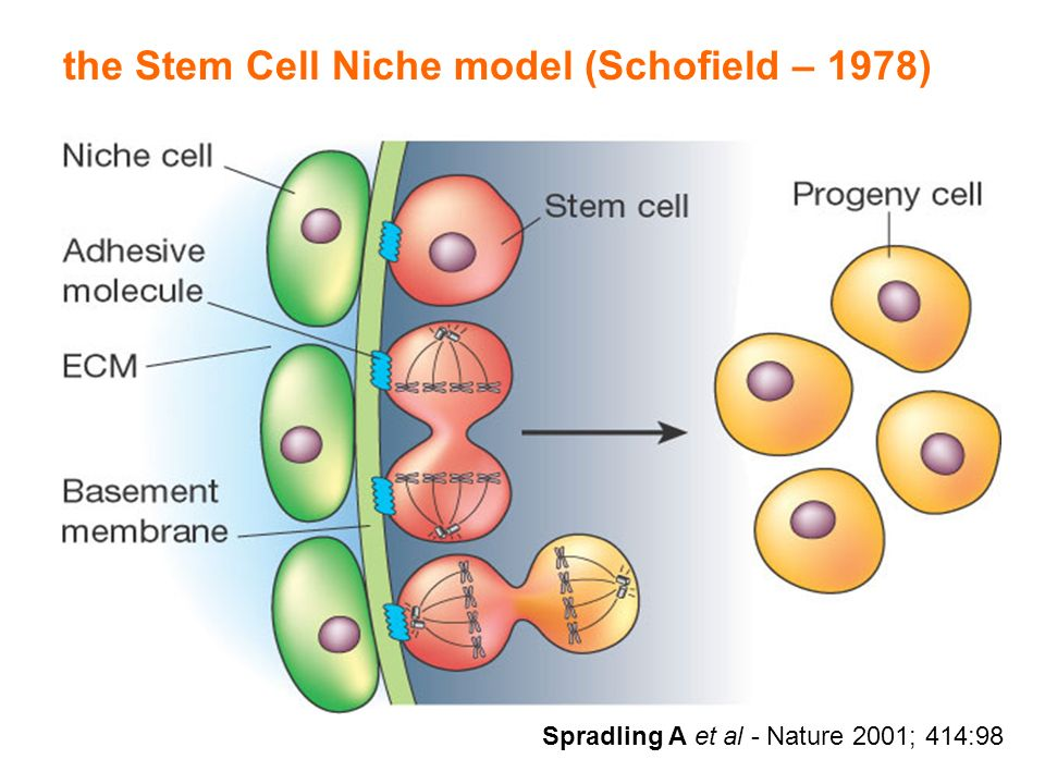 the Stem Cell Niche model (Schofield – 1978) Spradling A et al - Nature 2001; 414:98