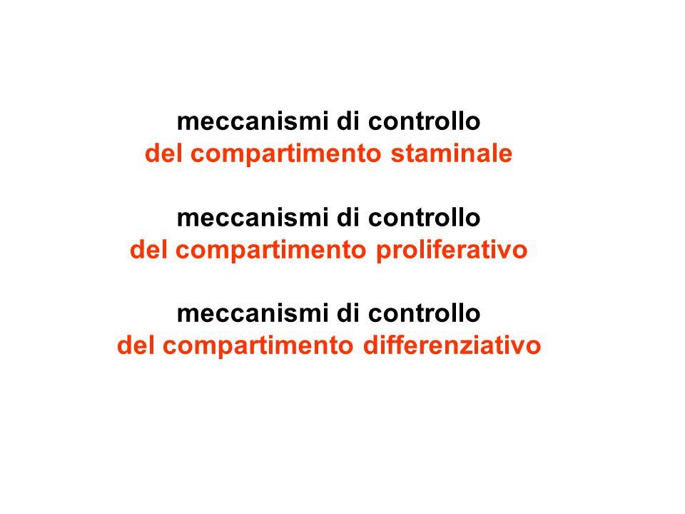 meccanismi di controllo del compartimento staminale meccanismi di controllo del compartimento proliferativo meccanismi di controllo del compartimento
