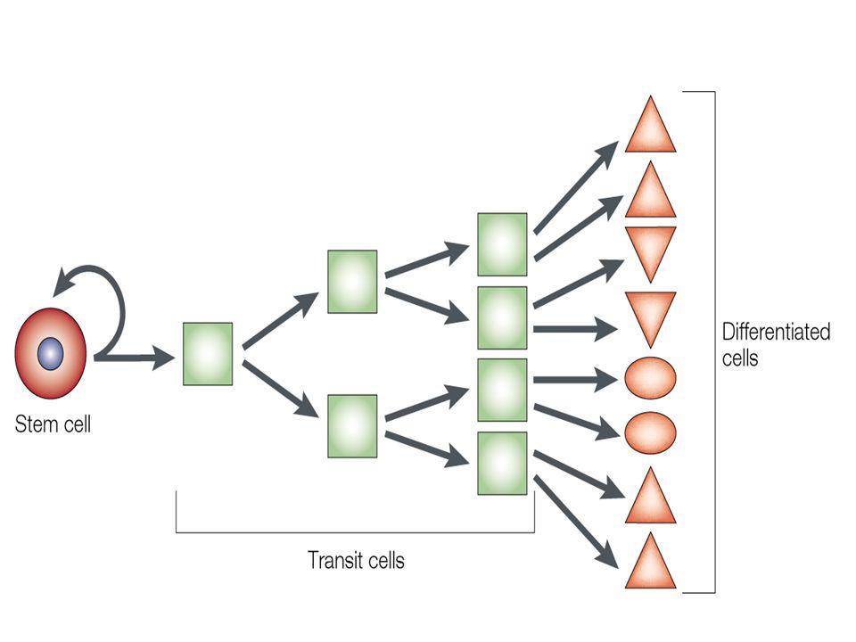 Compartimento Staminale cellule staminali Compartimento Proliferativo (o di transito ) progenitori (cellule proliferanti indifferenziate) clonogenici non-clonogenici Compartimento Differenziativo - precursori (cellule incapaci di proliferare e andate incontro a differenziazione iniziale) - cellule mature (differenziazione terminale) ________________________ Linea differenziativa: la progressione da un progenitore clonogenico (che viene commissionato a differenziare verso un determinato tipo cellulare funzionale) al compartimento differenziativo (corrispondente).