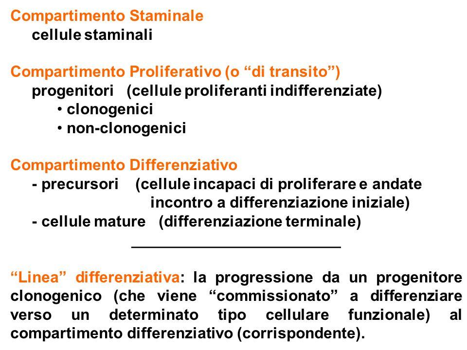 Attivazioneacquisizione della capacità di rispondere a stimoli proliferativi (= acquisizione di competenza ; = transizione G 0 > G 1 ); Amplificazioneproliferazione che precede la determinazione; espansione numerica della sottopopolazione staminale (= auto-mantenimento / self-renewal); porta alla generazione di progenitori clonogenici multipotenti, incapaci di automantenimento; Determinazionerestrizione del potenziale differenziativo a poche/una linea differenziativa (= restrizione di linea / commitment); perdita della multipotenza e dell'assetto genomico germinale; porta alla generazione di progenitori clonogenici oligo- o mono-potenti; Differenziazioneacquisizione del fenotipo specifico di una linea differenziativa; si accompagna alla perdita di clonogenicità e allo sviluppo iniziale di proprietà linea-specifiche (progenitori non clonogenici morfologica- mente identificabili); porta alla generazione di precursori incapaci di proliferare (post-mitotici); Maturazionecompleta acquisizione da parte dei precursori di proprietà funzionali linea-specifiche (= differenziazione terminale); Espansione clonaleprodotto della amplificazione della cellula staminale e della proliferazione dei progenitori clonogenici e dei progenitori non clonogenici.