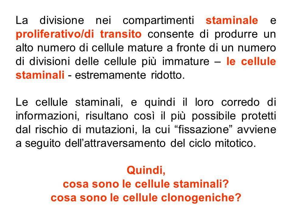 meccanismi di controllo del compartimento staminale 1)peculiarità microanatomiche e metaboliche del tessuto (microambiente della nicchia staminale e microambiente esterno ) 2)espressione di geni protettori della staminalità 3)fattori solubili stimolatori selettivi (?) della amplificazione staminale 4)fattori solubili classici (citochine) stimolatori dell'espansione clonale