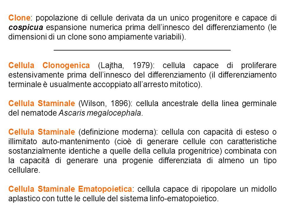 Clone: popolazione di cellule derivata da un unico progenitore e capace di cospicua espansione numerica prima dell'innesco del differenziamento (le di