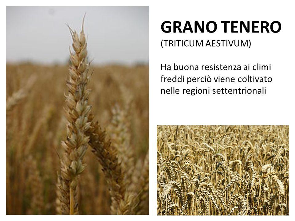 Il grano tenero si separa con facilità dalla paglia e dalla pula attraverso la trebbiatura