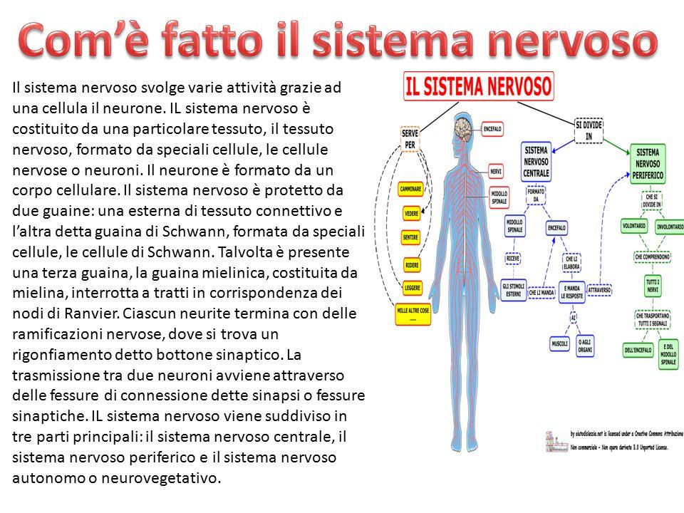 Il sistema nervoso svolge varie attività grazie ad una cellula il neurone. IL sistema nervoso è costituito da una particolare tessuto, il tessuto nerv
