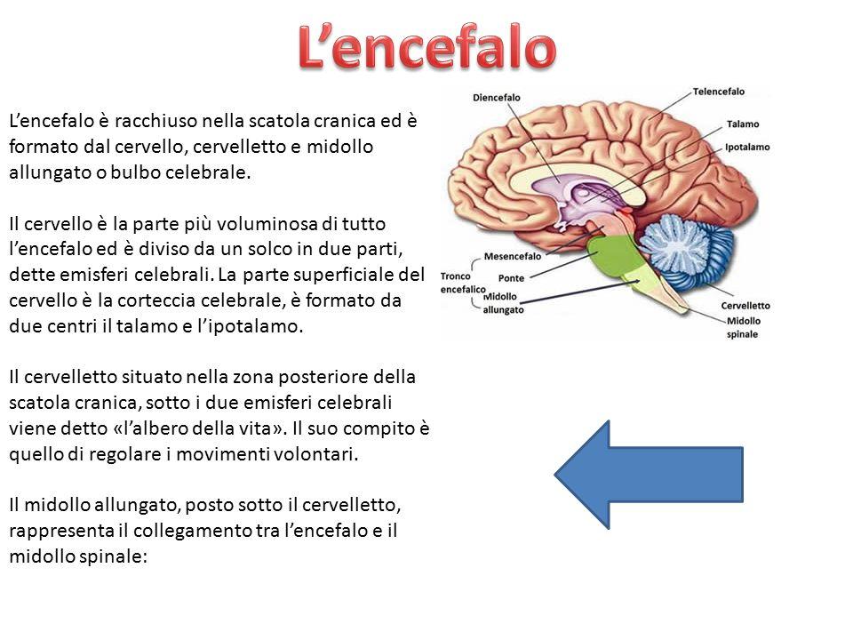 L'encefalo è racchiuso nella scatola cranica ed è formato dal cervello, cervelletto e midollo allungato o bulbo celebrale. Il cervello è la parte più