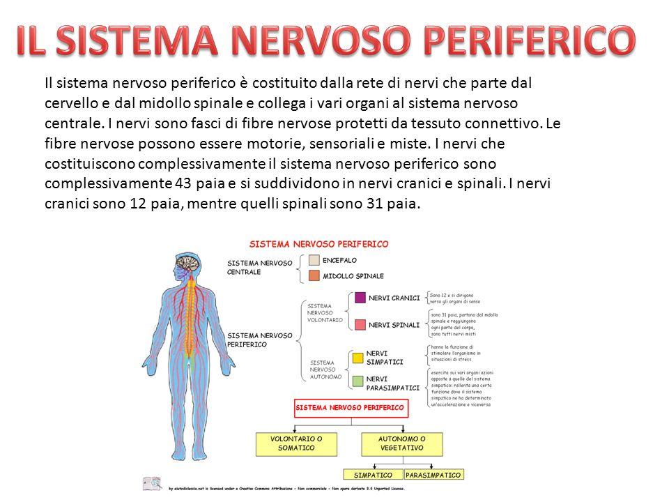 Il sistema nervoso periferico è costituito dalla rete di nervi che parte dal cervello e dal midollo spinale e collega i vari organi al sistema nervoso