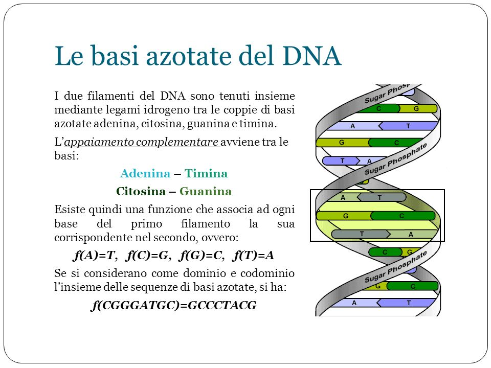 Le basi azotate del DNA I due filamenti del DNA sono tenuti insieme mediante legami idrogeno tra le coppie di basi azotate adenina, citosina, guanina