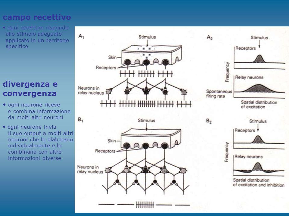 campo recettivo ogni recettore risponde allo stimolo adeguato applicato in un territorio specifico divergenza e convergenza ogni neurone riceve e comb