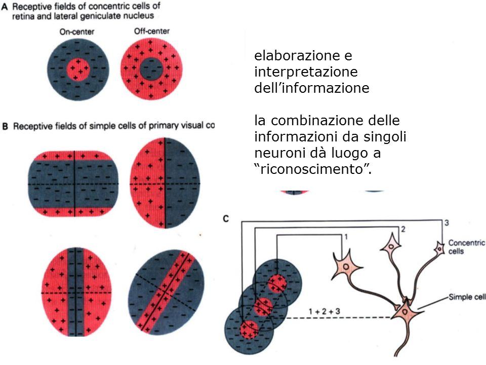 Costruzione della sensibilità a una linea luminosa diagonale in un neurone corticale grazie alla convergenza di input da cellule ON-center con campi r