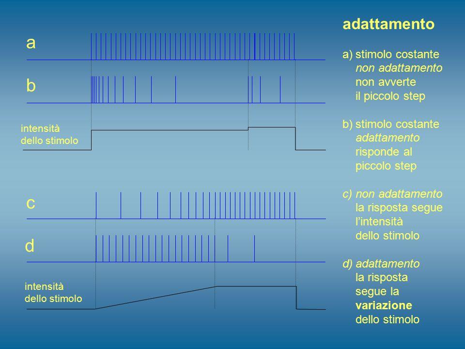 adattamento a)stimolo costante non adattamento non avverte il piccolo step b)stimolo costante adattamento risponde al piccolo step c)non adattamento l