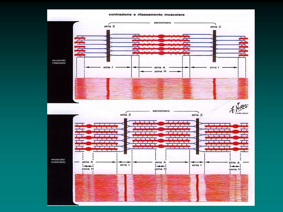 Durante la contrazione: i filamenti sottili scorrono in profondità tra i filamenti spessi; si avvicinano le strie Z e si accorcia il Sarcomero; le strie A rimangono della stessa larghezza; le strie I si assottigliano; le zone H si assottigliano fino a scomparire quando i filamenti sottili si sovrappongono tra loro.