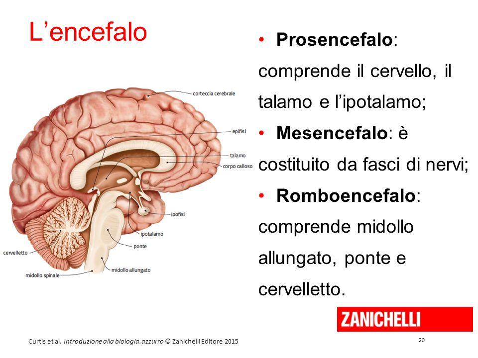 20 Curtis et al. Introduzione alla biologia.azzurro © Zanichelli Editore 2015 L'encefalo Prosencefalo: comprende il cervello, il talamo e l'ipotalamo;