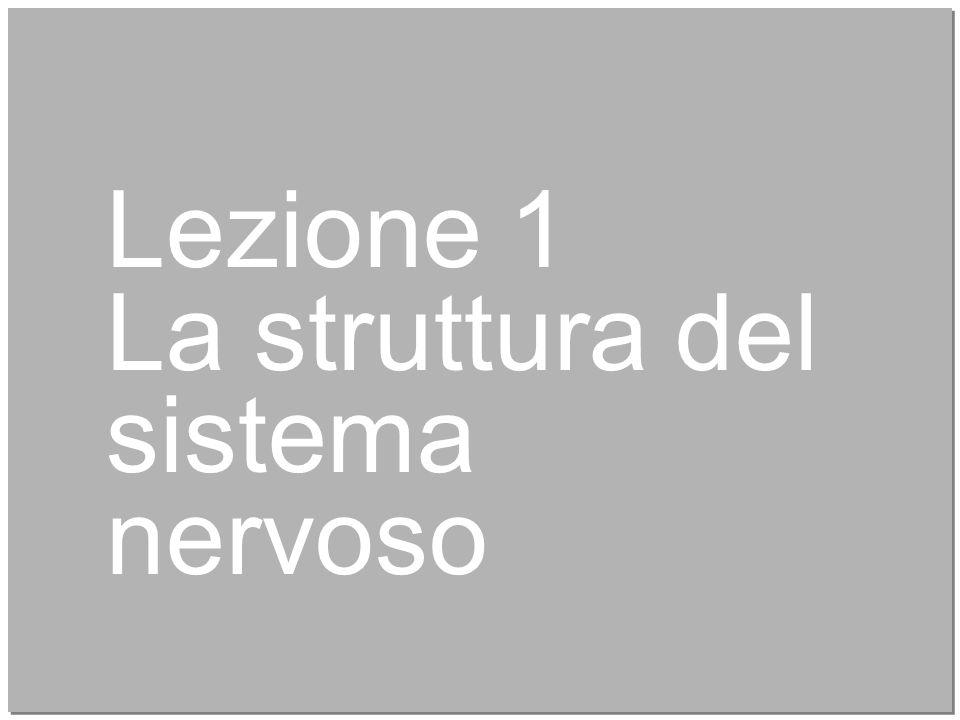 4 Lezione 1 La struttura del sistema nervoso
