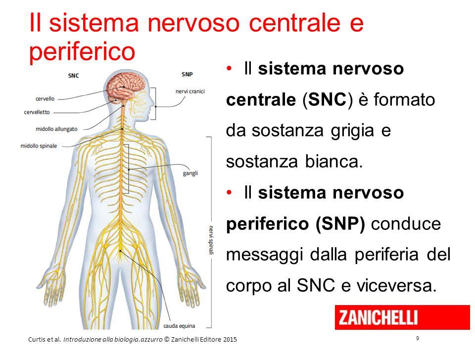 9 9 Curtis et al. Introduzione alla biologia.azzurro © Zanichelli Editore 2015 Il sistema nervoso centrale e periferico Il sistema nervoso centrale (S