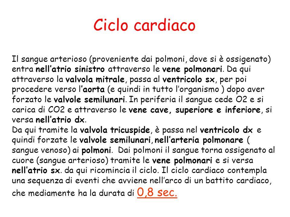 Ciclo cardiaco Il sangue arterioso (proveniente dai polmoni, dove si è ossigenato) entra nell'atrio sinistro attraverso le vene polmonari. Da qui attr