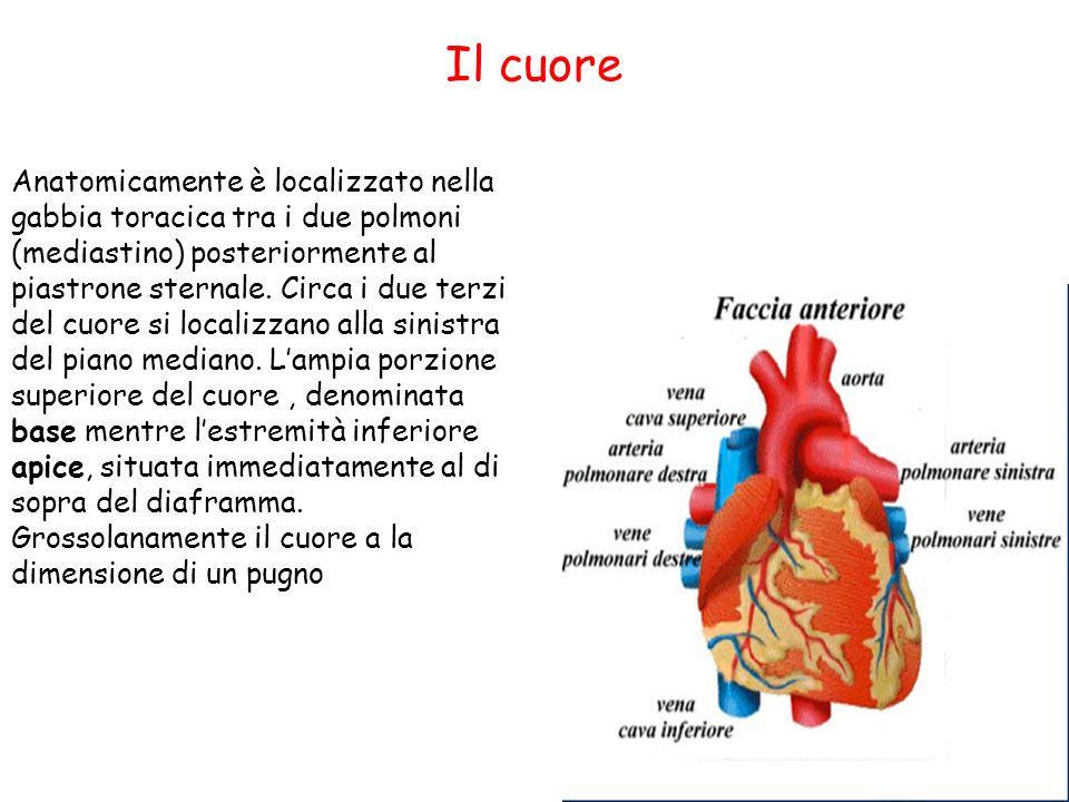 Il cuore Anatomicamente è localizzato nella gabbia toracica tra i due polmoni (mediastino) posteriormente al piastrone sternale. Circa i due terzi del