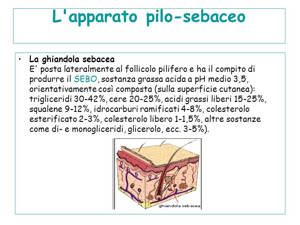 L'apparato pilo-sebaceo La ghiandola sebacea E' posta lateralmente al follicolo pilifero e ha il compito di produrre il SEBO, sostanza grassa acida a