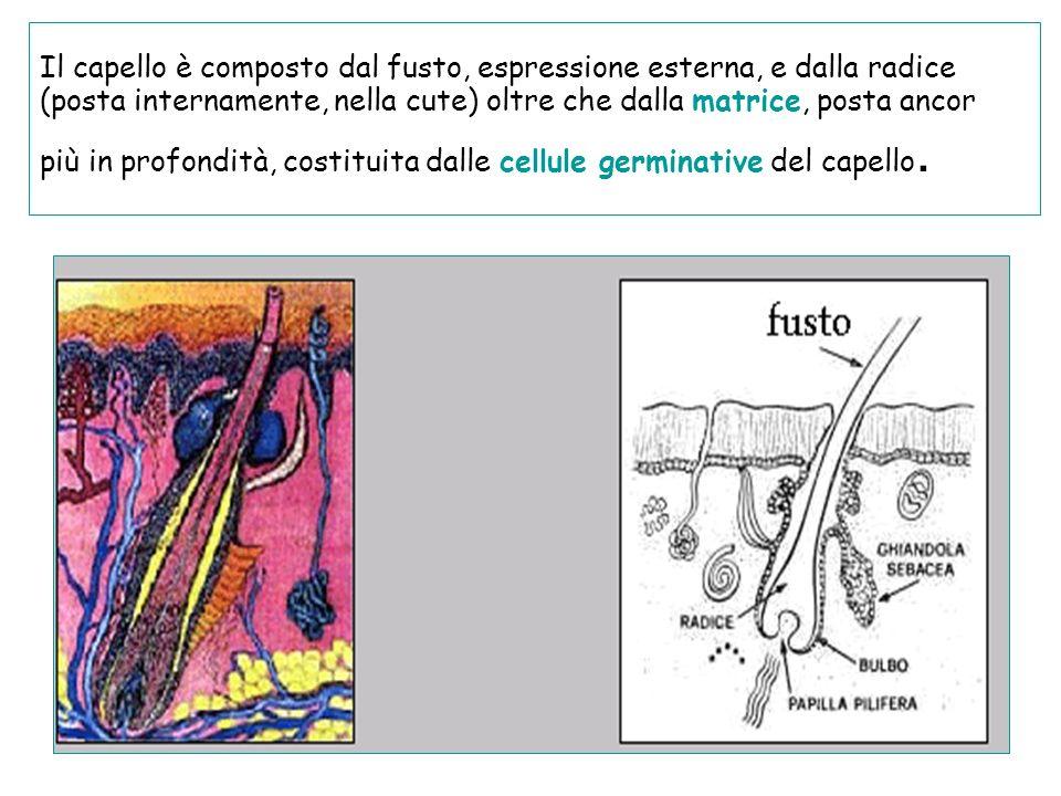 Il capello è composto dal fusto, espressione esterna, e dalla radice (posta internamente, nella cute) oltre che dalla matrice, posta ancor più in prof