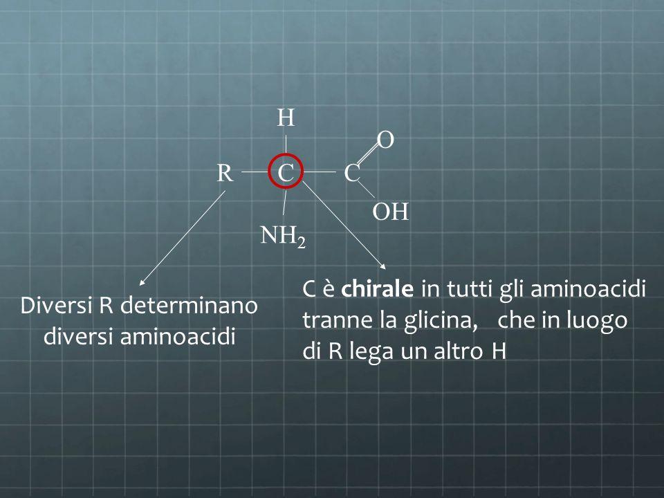 RCC NH 2 H O OH C è chirale in tutti gli aminoacidi tranne la glicina, che in luogo di R lega un altro H Diversi R determinano diversi aminoacidi