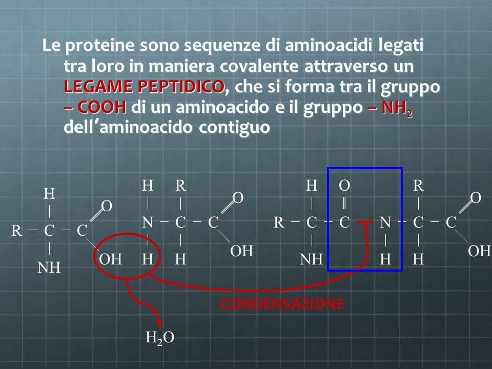 Le proteine sono sequenze di aminoacidi legati tra loro in maniera covalente attraverso un LEGAME PEPTIDICO, che si forma tra il gruppo – COOH di un a