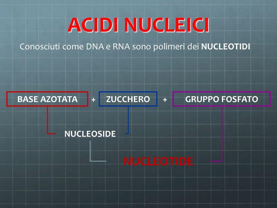 ACIDI NUCLEICI Conosciuti come DNA e RNA sono polimeri dei NUCLEOTIDI BASE AZOTATA + ZUCCHERO + GRUPPO FOSFATO NUCLEOSIDE NUCLEOTIDE