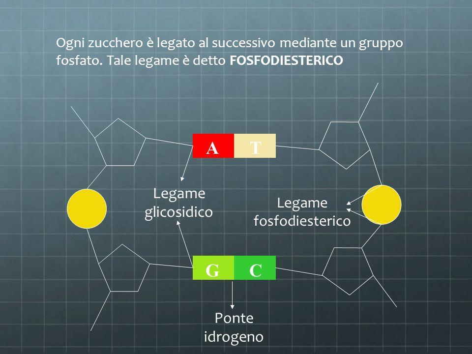Ogni zucchero è legato al successivo mediante un gruppo fosfato. Tale legame è detto FOSFODIESTERICO AT GC Legame fosfodiesterico Legame glicosidico P