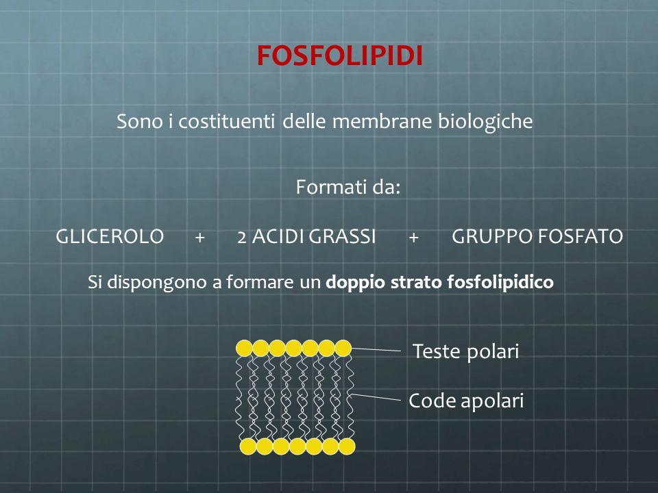 FOSFOLIPIDI Sono i costituenti delle membrane biologiche Formati da: GLICEROLO+2 ACIDI GRASSI+GRUPPO FOSFATO Si dispongono a formare un doppio strato
