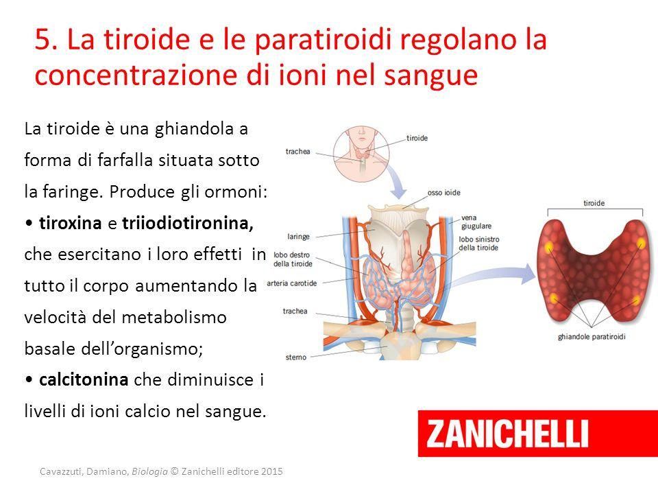 Cavazzuti, Damiano, Biologia © Zanichelli editore 2015 5. La tiroide e le paratiroidi regolano la concentrazione di ioni nel sangue La tiroide è una g