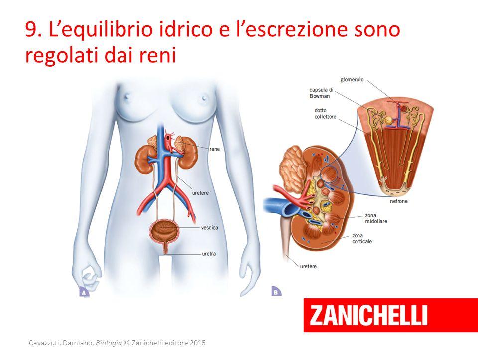 Cavazzuti, Damiano, Biologia © Zanichelli editore 2015 9. L'equilibrio idrico e l'escrezione sono regolati dai reni