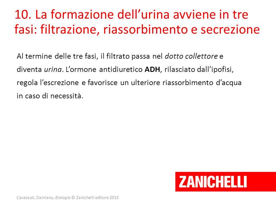Cavazzuti, Damiano, Biologia © Zanichelli editore 2015 10. La formazione dell'urina avviene in tre fasi: filtrazione, riassorbimento e secrezione Al t