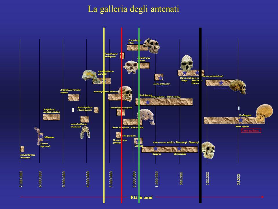 7.000.0006.000.0005.000.0004.000.0003.000.0002.000.000 1.000.000 500.000100.00035.000 Sahelanthropus tchadensis Orrorin tugenensis Ardipithecus ramidus kadabba Australopithecus anamensis Australopithecu s bahrelgazhali Australopithecus africanus Australopithecus afarensis Lucy Ardipithecus ramidus ramidus Homo rudolfensis - Homo habilis Homo ergaster - Homo erectus Homo sapiens Homo antecessor Gran Dolina AragoSima de los Huesos Homo neanderthalensis Dmanissi SangiranZhoukoudian Homo erectus asiatici – Pitecantropi - Sinantropi Nariokotome Australopithecus garhi Paranthropus boisei Paranthropus robustus Homo georgicus Homo heidelbergensis Kenyanthropus platyops Uomo moderno Paranthropus aethiopicus Cro Magnon Millenium Man Età in anni Grotta Guattari La galleria degli antenati