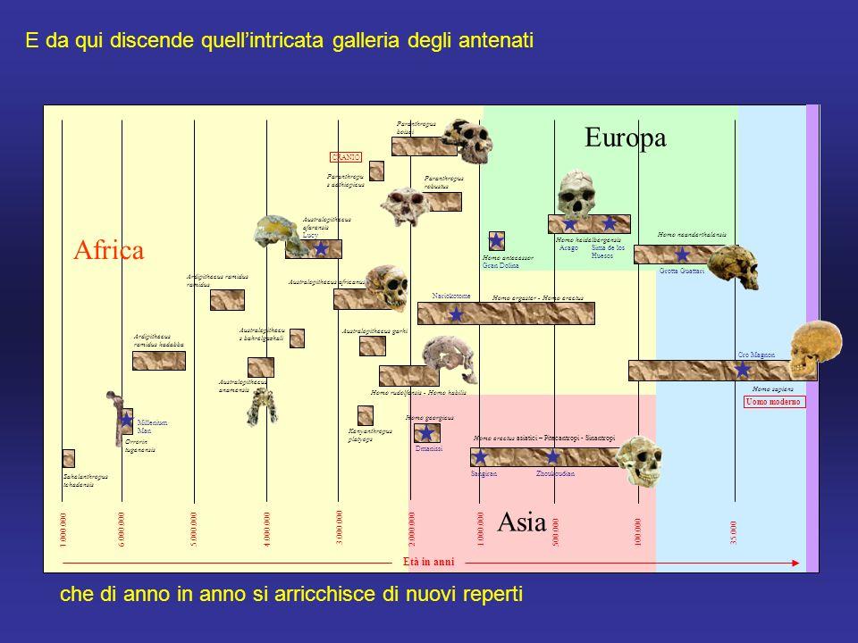 7.000.000 6.000.0005.000.0004.000.000 3.000.000 2.000.0001.000.000500.000100.000 35.000 Sahelanthropus tchadensis Orrorin tugenensis Ardipithecus ramidus kadabba Australopithecus anamensis Australopithecu s bahrelgazhali Australopithecus africanus Australopithecus afarensis Lucy Ardipithecus ramidus ramidus Homo rudolfensis - Homo habilis Homo ergaster - Homo erectus Homo sapiens Homo antecessor Gran Dolina AragoSima de los Huesos Homo neanderthalensis Dmanissi SangiranZhoukoudian Homo erectus asiatici – Pitecantropi - Sinantropi Nariokotome Australopithecus garhi Paranthropus boisei Paranthropus robustus Homo georgicus Homo heidelbergensis Kenyanthropus platyops Uomo moderno Paranthropu s aethiopicus Cro Magnon Millenium Man Età in anni Grotta Guattari CRANIO Africa Asia Europa E da qui discende quell'intricata galleria degli antenati che di anno in anno si arricchisce di nuovi reperti